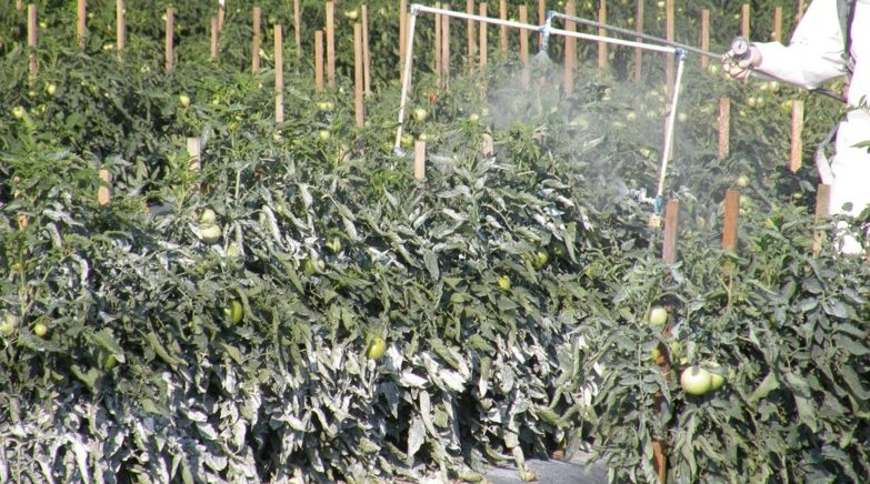 tomatoes being sprated with crop protectant