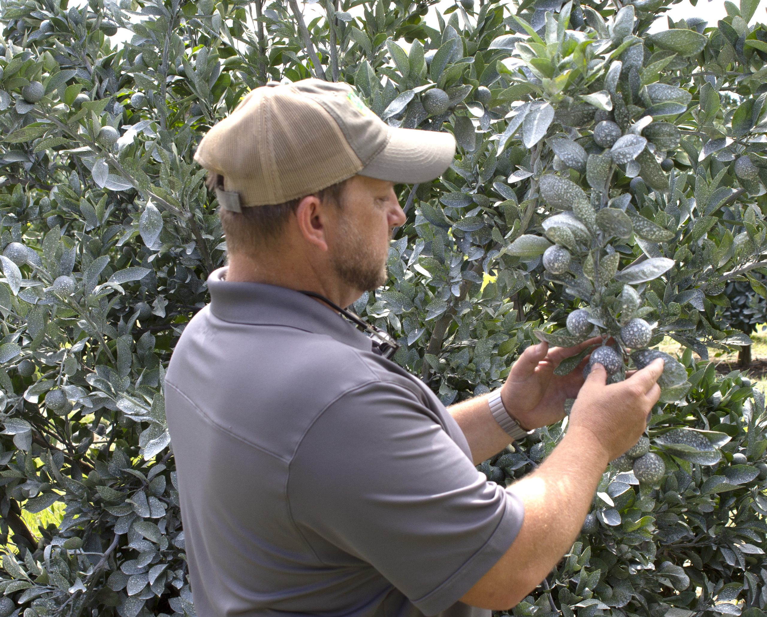 Holding crop with kaolin protectant