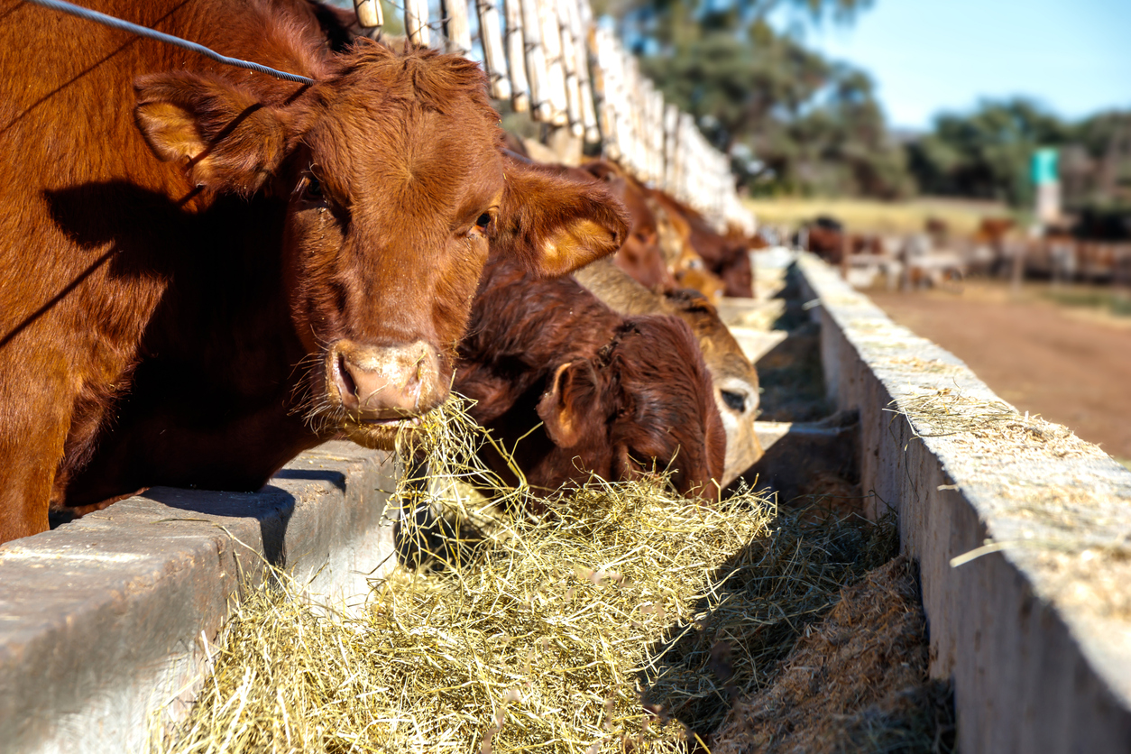 Isolated closeup of cattle feeding at a feedlot